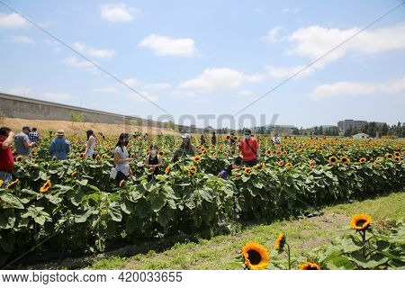 May 8, 2021 Costa Mesa, California - USA: Sunflower Field. Sunflowers for sale growing on a farm with people cutting and buying the Sunflowers of their Choice. Editorial Use.