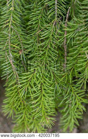 Picea Omorica (omorika) Also Known As Serbian Spruce, Pančić Spruce Branches And Needles. Close Up .