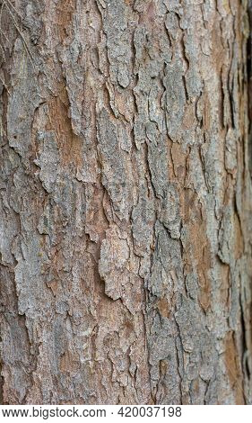 Picea Omorica (omorika) Also Known As Serbian Spruce, Pančić Spruce Bark. Close Up . Detail.