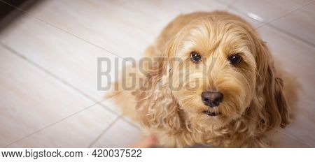 Puppy Cockapoo English Dog ( Mixed Breed With Cute American Cocker Spaniel And Poodle ) Pet Health C