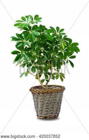Octopus Tree Or Umbrella Plant ( Schefflera Actinophylla ), Growing Beautiful In Rattan Pot. Charmin
