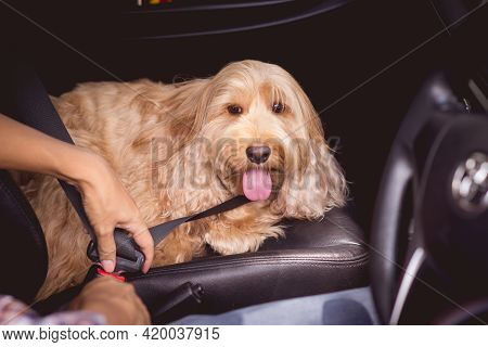 Owner Seatbelt On Hairy Dog In Car For Safety. Adorable Cockapoo Breeding Mixed (cocker Spaniel And