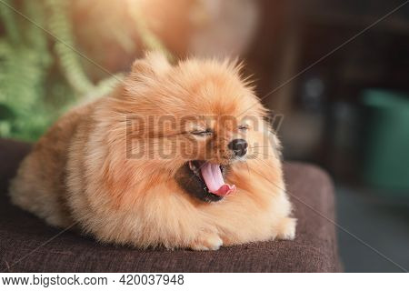 A Cute Pomeranian Breed Lies On The Wooden Table, Lovely Dog Looking On Camera, Soft-focus On Blurry