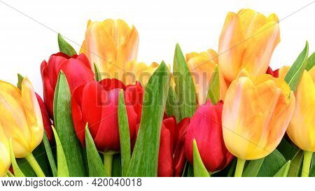 Bouquet Of Yellow And Red Tulips Isolated On White Background. Spring And Summer Backdrop. Mother\'s