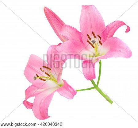 Pink Lily Flower Isolated On White Background. Beautiful Tender Lilly