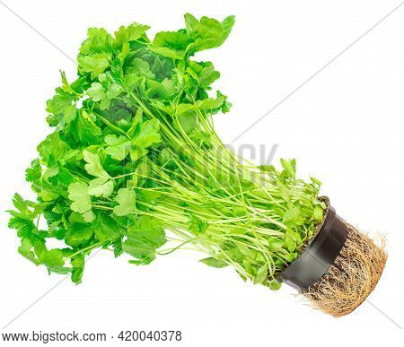 Fresh Parsley  Isolated On White Background. Parsley Herb Growing In A Flower Pot, Organic Food Conc