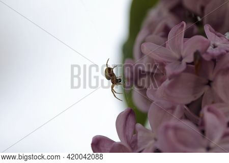 A Spider Spinning A Web On Lilac Flowers In Spring Season.