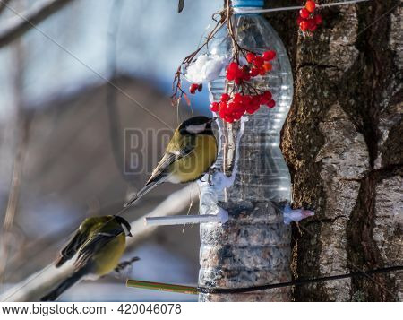 Two Great Tits (parus Major) Visiting Bird Feeder Made From Reused Plastic Bottle Full With Grains A