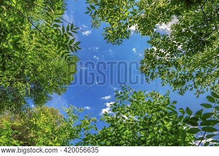 Tree Branches Frame With Blue Sky. Lush Green Ash Trees Background