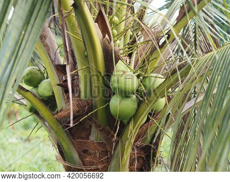 Close-up Bunch Of Fresh Green Coconut Clusters On Palm Tree, Fruit Nature Background