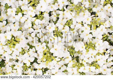 White Sweet Alyssum Or Lobularia Maritima. Bed With White Flowers