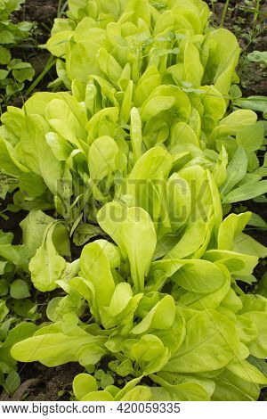Young Leaves Of Fresh Green Lettuce Growing In The Vegetable Garden On A Sunny Day. The First Spring