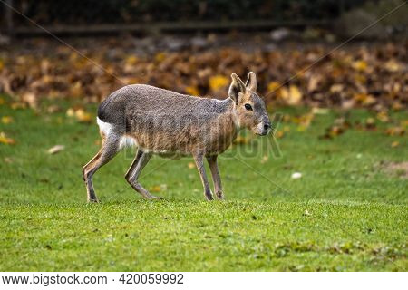 Patagonian Mara, Dolichotis Patagonum. These Large Relatives Of Guinea Pigs Are Common In The Patago
