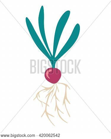 Radish. Fresh Natural Organic Radish. A Healthy Dieting Vegetable Product. Can Be Used As Emblem, Lo