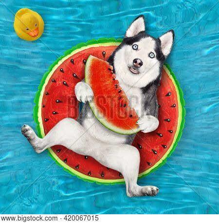 A Dog Husky With A Slice Of Watermelon Is Lying On An Inflatable Watermelon Circle In A Swimming Poo
