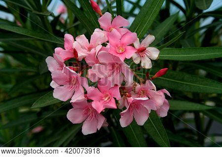 Bunch Of Pink Oleander Flowers With Buds And Green Leaves In Background