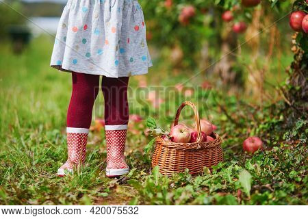 Toddler Girl Picking Red Ripe Organic Apples In Basket In Orchard Or On Farm On A Fall Day