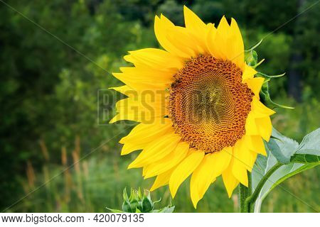 Close Up Of Sunflower Field In Summer. Blurred Background Of Forested Hills