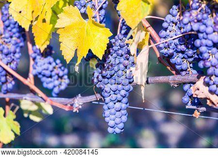 Ripe grape. Autumn harvest. wine plantation of Piemonte (Piedmont), famous vine region of northern Italy
