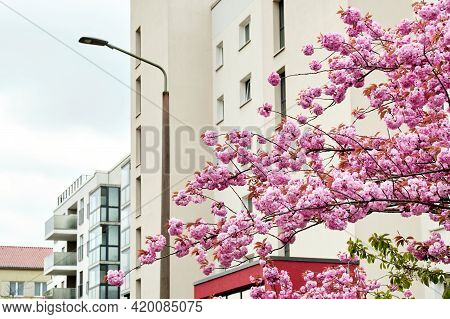 Cherry Blossoms In Front Of Modern House, Old Town Appartment Block Of Flats In Berlin, Germany. Mod