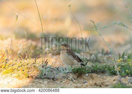 Bird Chick Northern Wheat Oenanthe Oenanthe. Close Up.