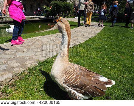 Stanisici, Bijelina, Bosnia And Herzegovina, April 25, 2021 Goose On The Lawn. Adult Bird On The Gra