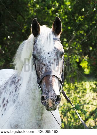 A Head Shot Of A Spotty Horse In A Snaffle Bridle.