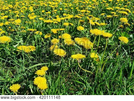 Background Of Dandelions Of The Family Taraxacum Officinale Close-up. A Field Dotted With Dandelions