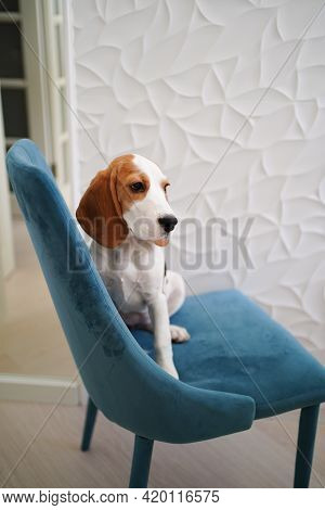 The Basset Hound Dog Sits On A Blue Chair In The Apartment.