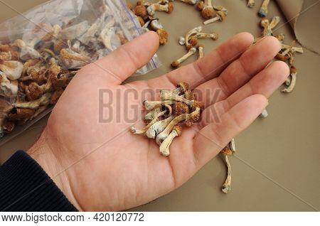 Psilocybin Psilocybe Cubensis Mushrooms In Man's Hand On Brown Background. Psychedelic Magic Mushroo