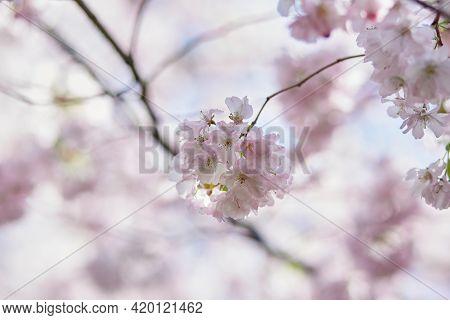 Sakura Flower Tree. Delicate Branch In Sunny Day. Spring Background. Tenderness Concept. Pink Flower