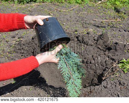 A Gardener Is Transplanting A Lawson Cypress Sapling, Little Chamaecyparis Lawsoniana From A Pot Int