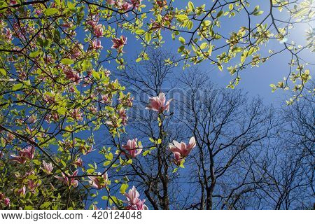 Magnolia Blooming In The Spring Seen Upwards Against The Blue Sky