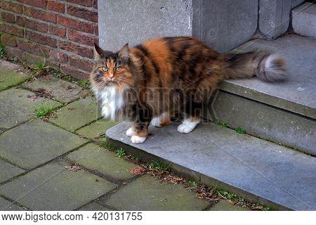 Three Colored Cat Standing On The Doorway, Leiden, Netherlands