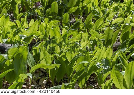 Wild Garlic (allium Ursinum) Green Leaves In The Beech Forest. The Plant Is Also Known As Ramsons, B