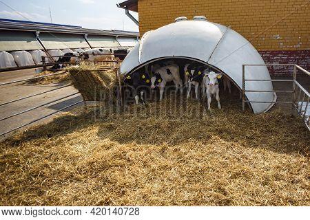 White Plastic Calfhutch On Straw. Little Calf Standing In Cage In Livestock Barn On Daity Farm. Catt