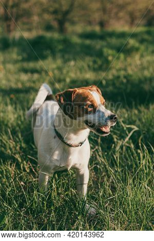 Adorable Dog Jack Russell Terrier On A Green Grass In A Garden. Portrait Of A Little Dog.