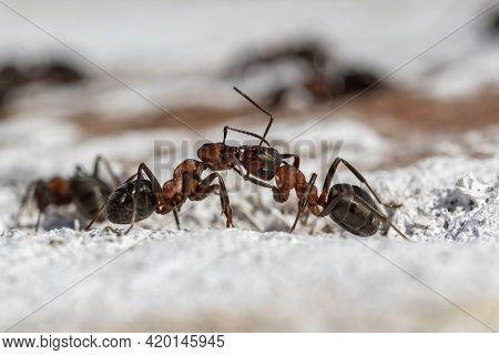 Communication Between Ants. Two Ants Exchanging Information