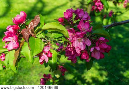 Blooming Garden In Spring. Blooming Orchard Apple Tree. Spring Background. Spring Garden