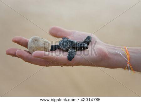 Loggerhead Turtle Baby(caretta Carretta) And Egg On Hand