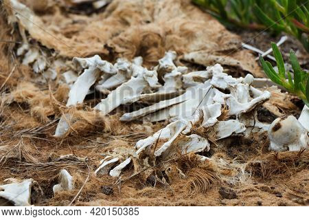 Decaying Wild Animal Carcass With Fur And Bones
