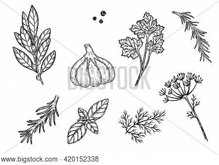 Sketches Set. Hand Drawn Dill, Parsley, Garlic, Basil. Cooking Ingredients Concept.