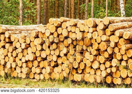 Timber Logging In Forest. Tree Wooden Logs Piled Up. Wood Storage For Industry.