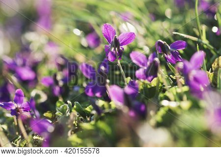 Wild Violet Flowers Are Growing In The Green Grass In The Garden.