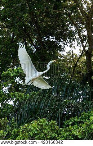 Great Egret Wading Bird Ardea Alba Spreads Its Wings And Flies Over Mangrove Trees In Keewaydin Isla