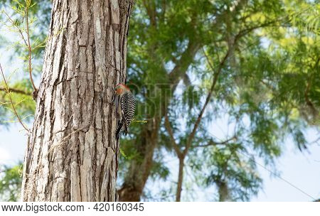 Red Bellied Woodpecker Melanerpes Carolinus Bird Pecks At A Pine Tree In Search Of Insects In Naples