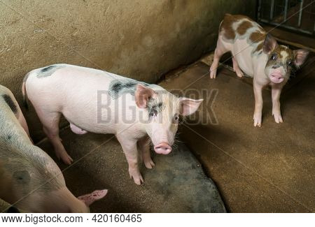 cute pigs on the farm