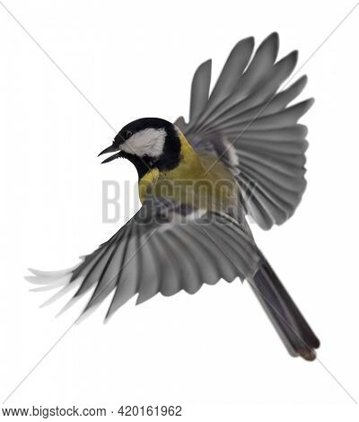 great tit in flight isolated on white background