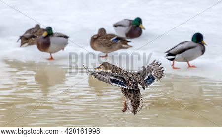 group of flying and standing on ice mallard duck