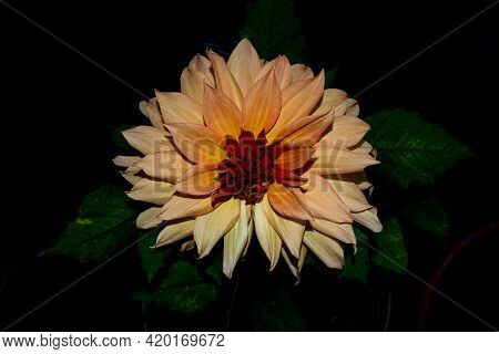 Orange Dahlia And Leaves In Isolated Black Background